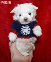 KC registered Maltese Puppies For Sale